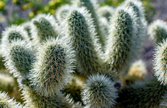Zergatik ziztatzen du kaktusak?